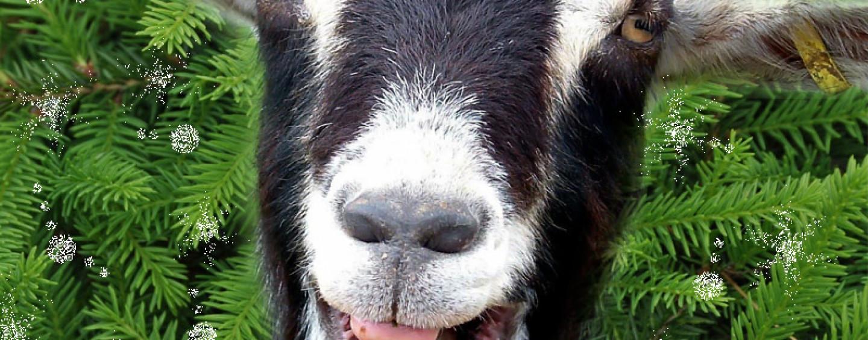 Конкурсы для семейного праздника «Год козы 2015»