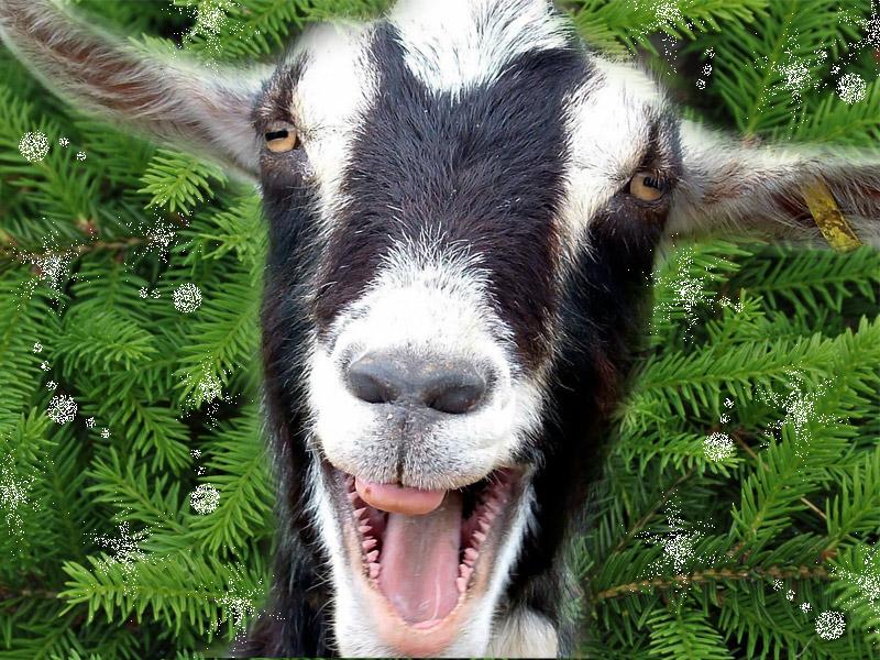 Картинка козы смешной