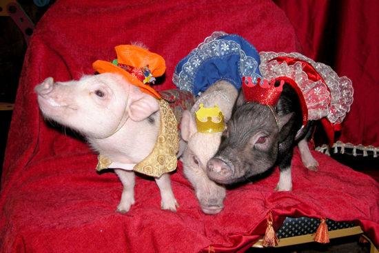 конкурсы на год Свиньи для домашнего праздника